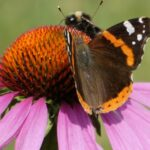 Ce știți despre Echinacea Purpurea?