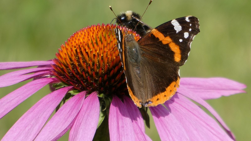Povestea Echinacea Purpurea a început în secolul XVII