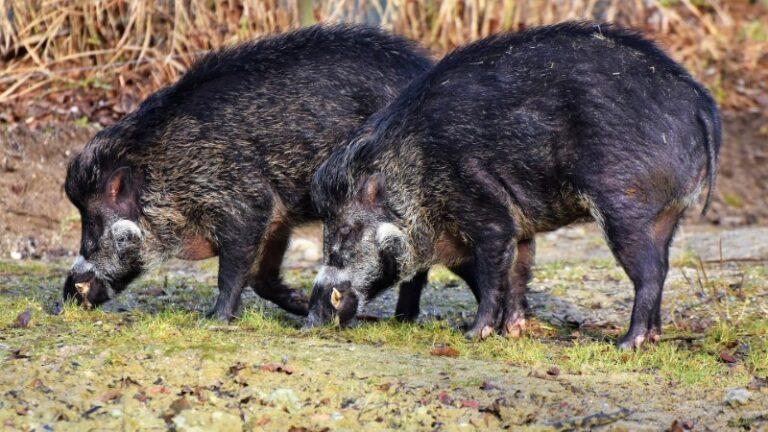 Cum să ai o vânătoare de succes folosind momeli pentru porci mistreți
